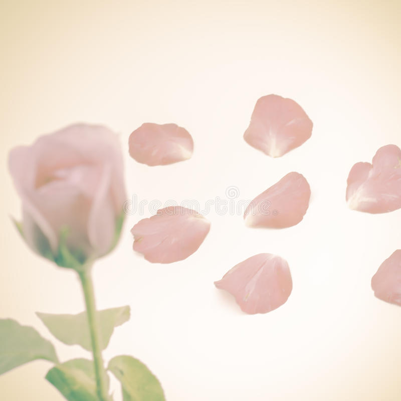 Download Rose Flower image stock. Image du arome, lumineux, anniversaire - 56476323