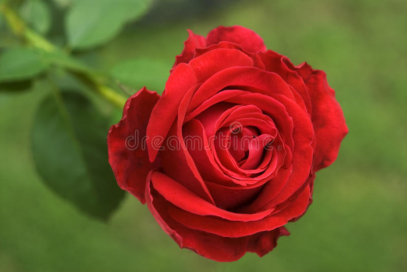Rose Flower foto de stock