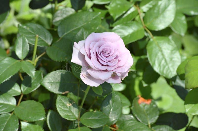 Rose Flower imagens de stock royalty free