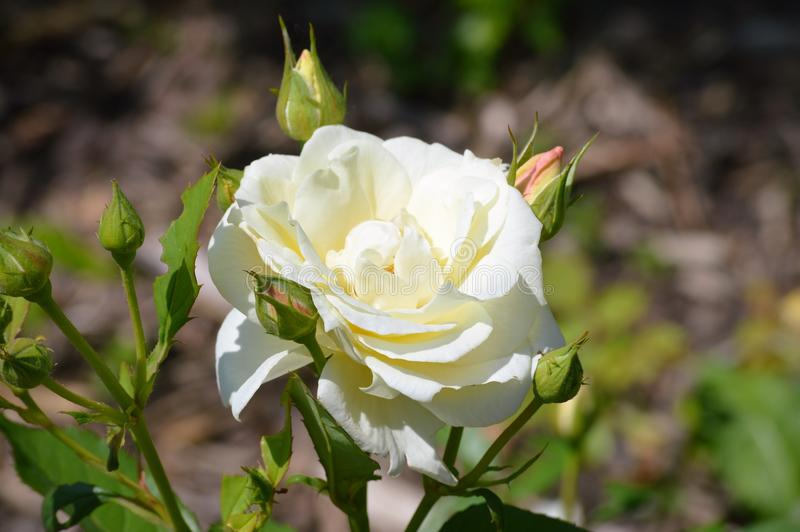 Rose Flower foto de stock royalty free
