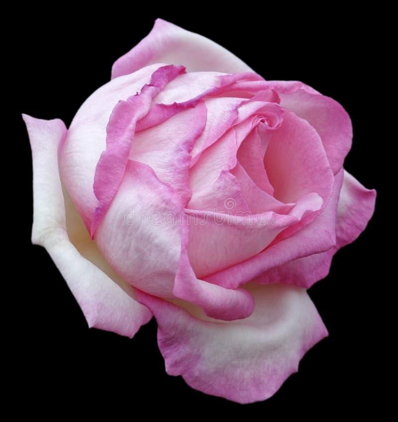 Rose Flower royalty-vrije stock foto