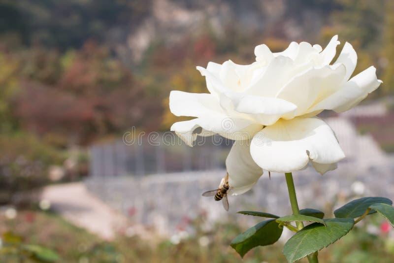 Rose Flower photos stock