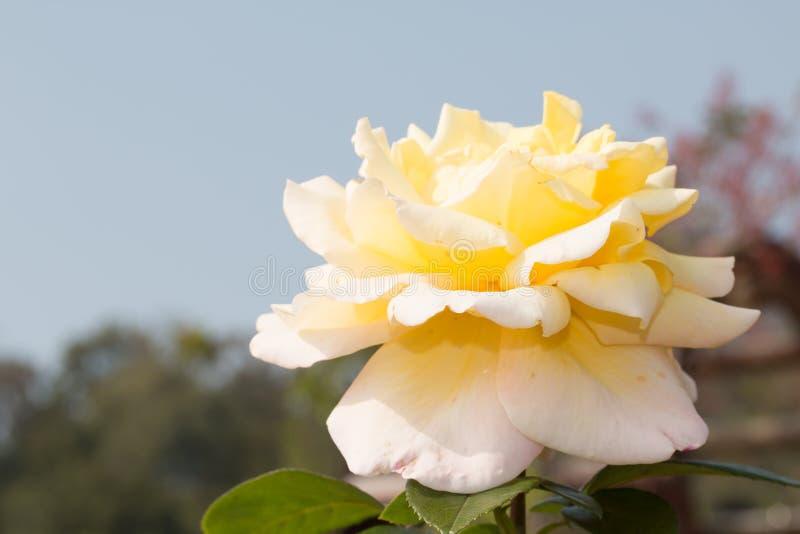 Rose Flower stock afbeelding