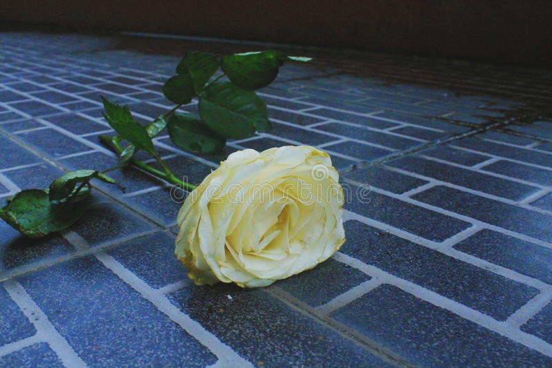 Rose Flower imagenes de archivo