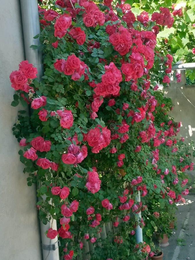 Rose Flower fotografia stock