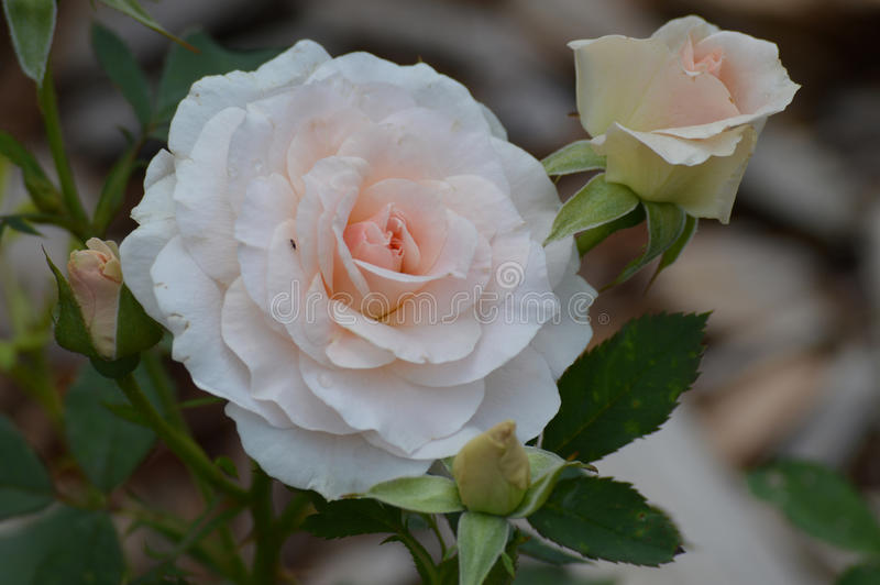 Rose Flower fotos de stock