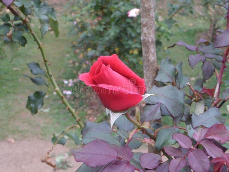 Rose Flower immagine stock libera da diritti