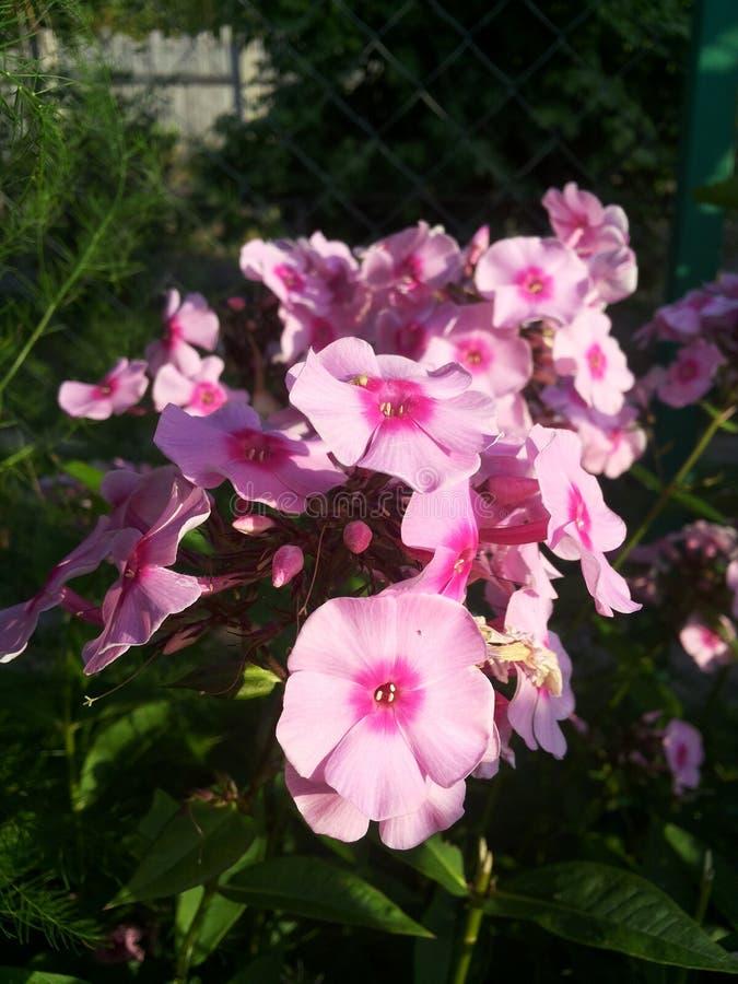 Rose Flower fotografia stock libera da diritti