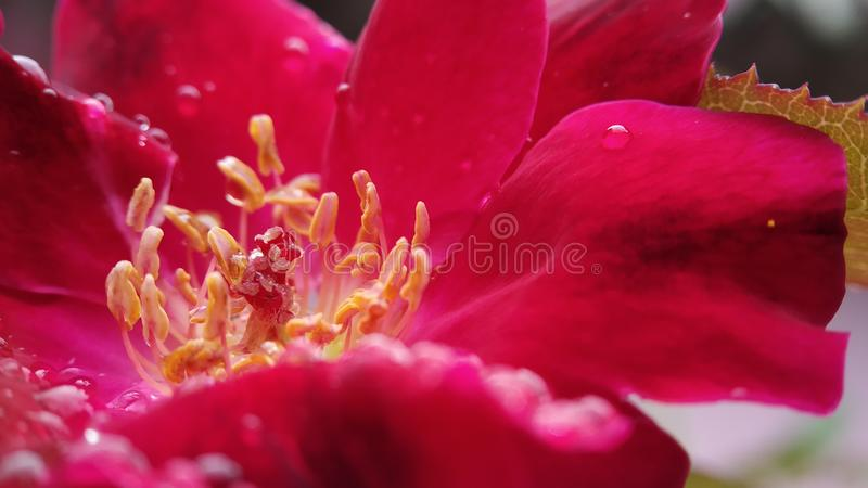 Rose flower anther and stigma macro shot clear focused stock photo