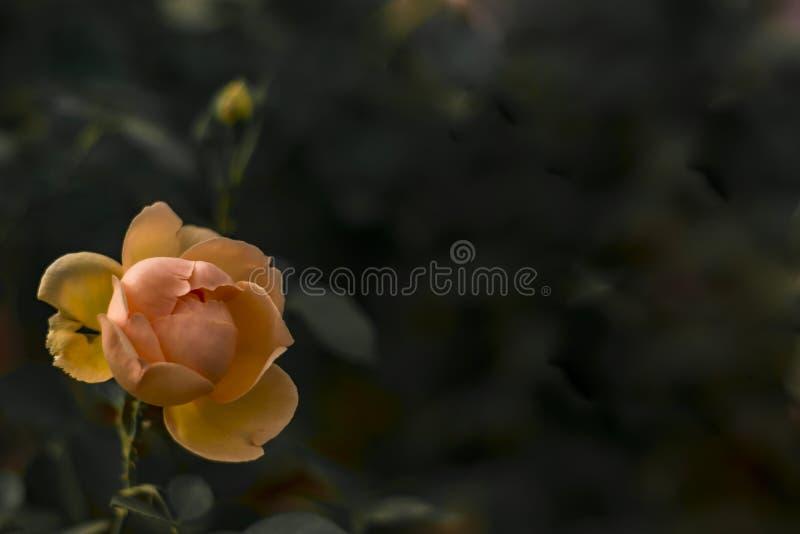 Rose Flower arancio isolata con fondo scuro immagine stock libera da diritti