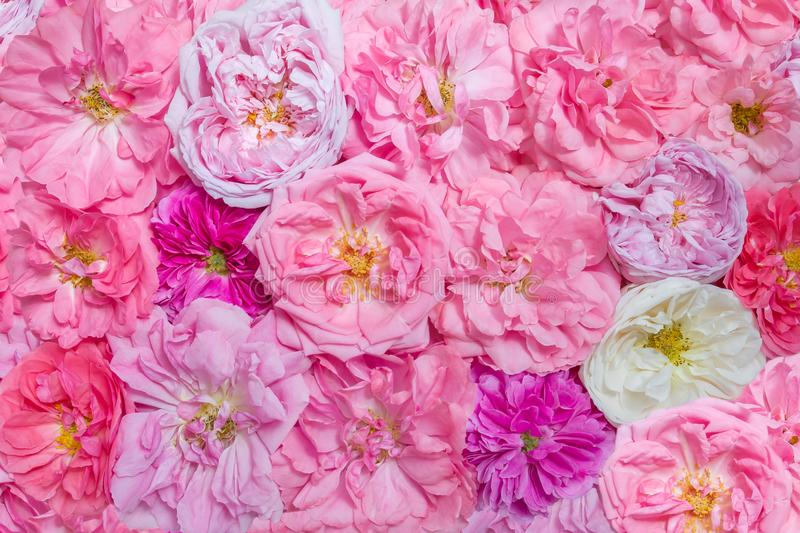 Rose flower background, top view. Pink and white French gallic vintage roses royalty free stock images
