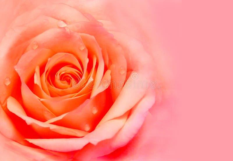 Rose flower stock photos