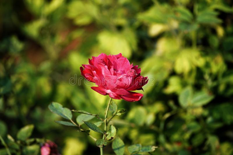 Rose Flower. Beautiful Pink Rose Flower. stock photo