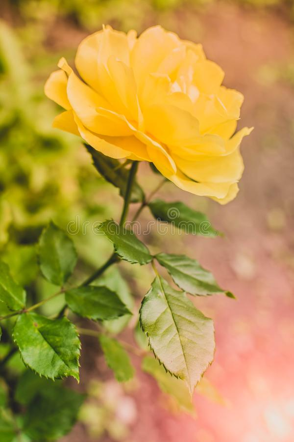 Rose flower 5. Beautiful rose growing in the garden, flower, background, roses, red, isolated, flowers, white, pink, floral, bouquet, nature, blossom, gift stock photography
