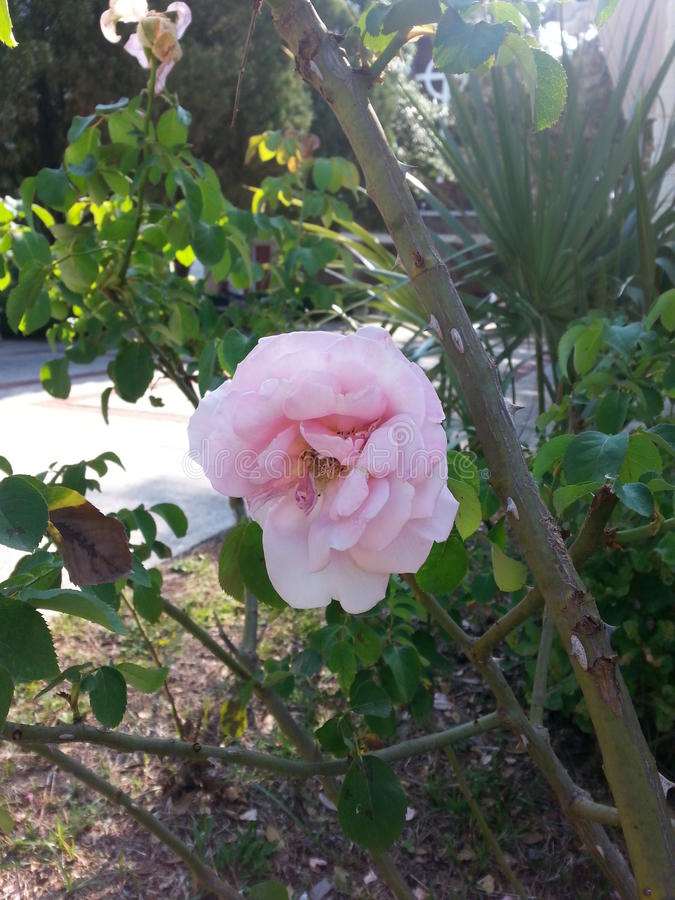 ROSE FLOWER OF BEAUTY royalty free stock photo