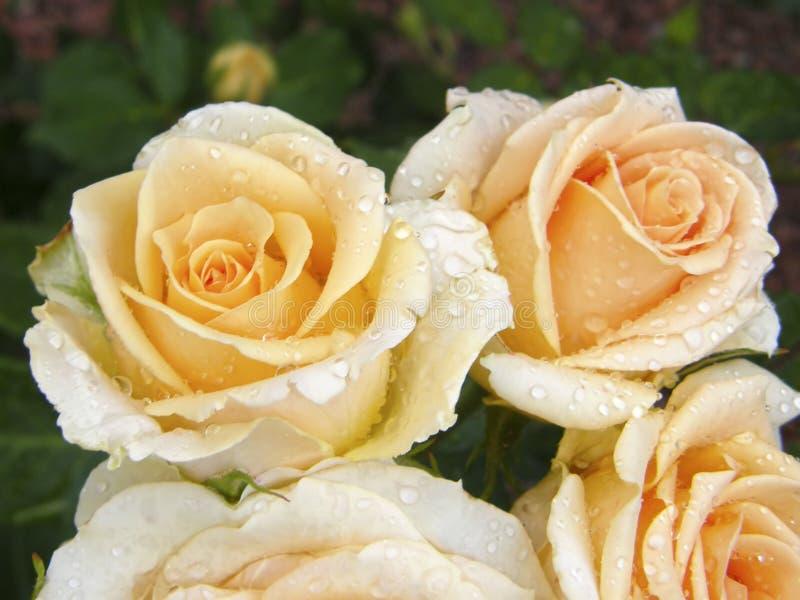 Rose Flower Bloemen royalty-vrije stock afbeeldingen