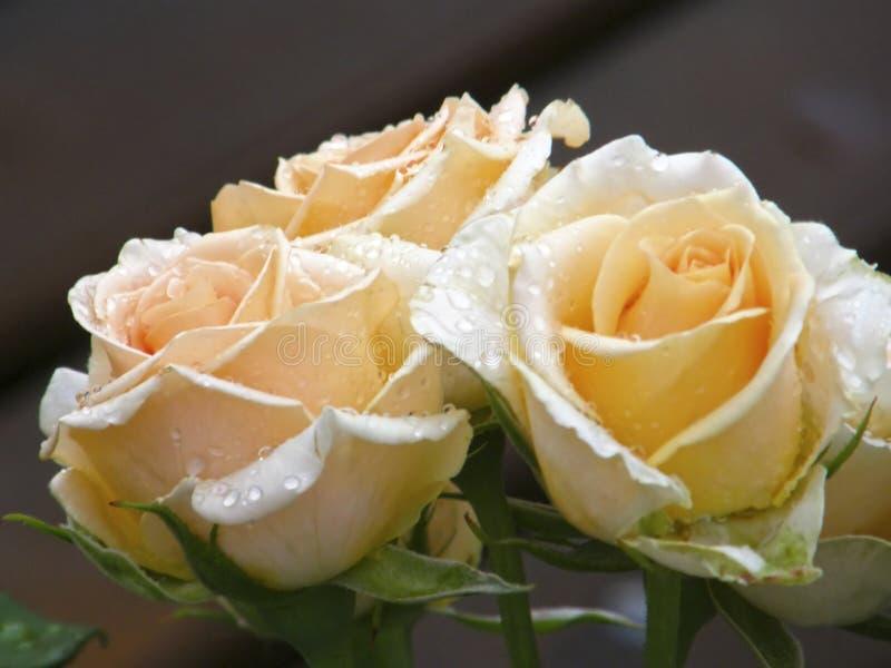 Rose Flower Bloemen royalty-vrije stock fotografie
