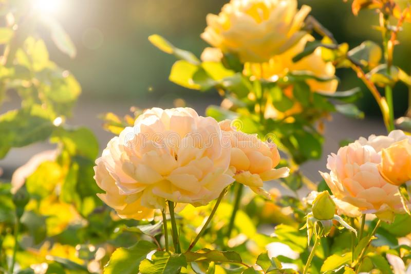 Rose flower blooming on background blurry roses in the warm light during sunset. Sun lights and bokeh on background stock images