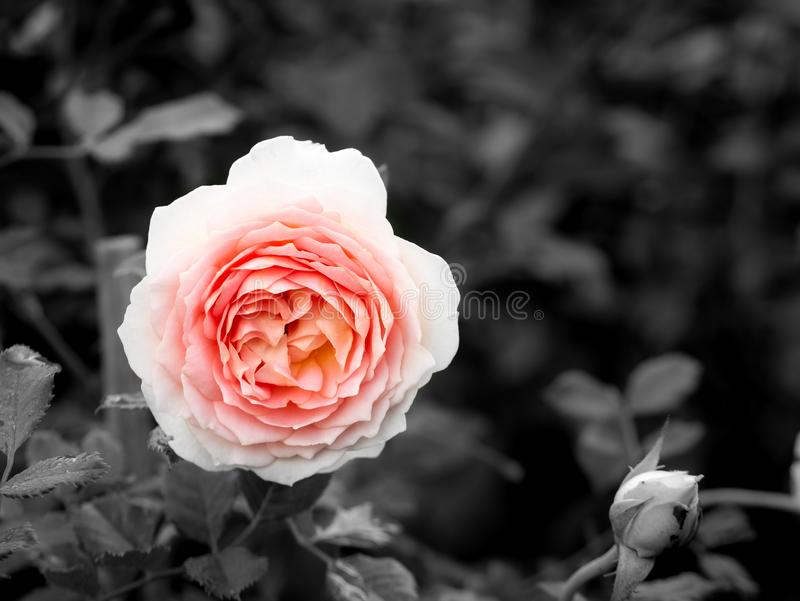 Rose Flower Blooming rosada foto de archivo