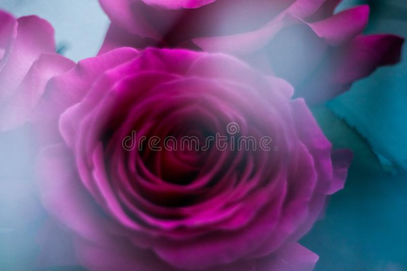 Rose flower blossom - wedding, holiday and floral garden styled concept. Elegant visuals stock images