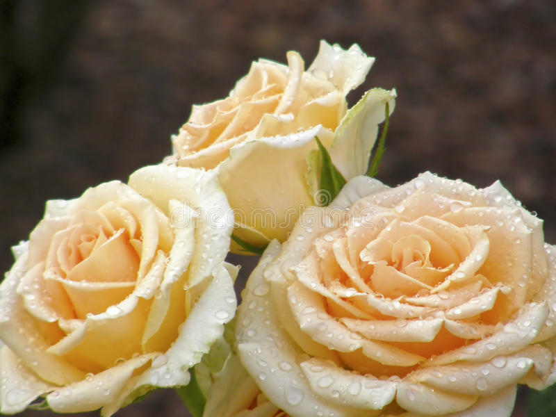 Download Rose Flower Blumen stockbild. Bild von biologie, botanik - 96927661