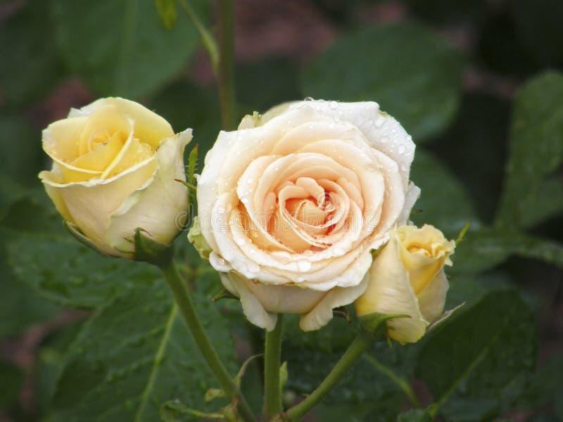 Download Rose Flower Blumen stockfoto. Bild von blumenstrauß, pistils - 96927810