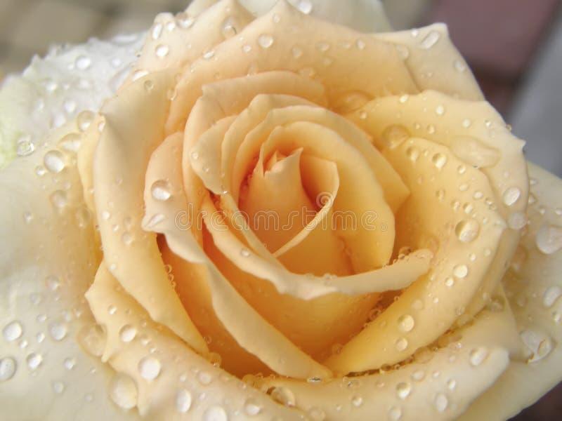 Download Rose Flower Blumen stockbild. Bild von blätter, botanik - 96928925