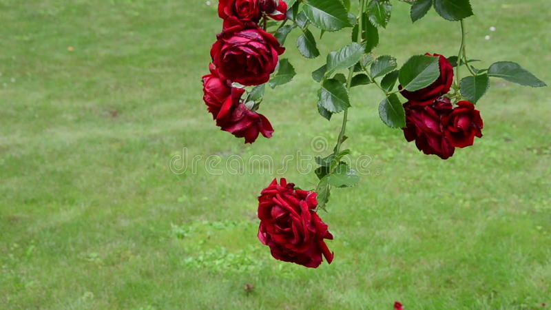 Rose Flower Branch With Big Red Blooms Hang In Summer Garden Stock ...