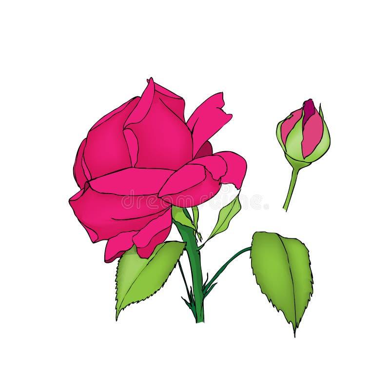 Rose flower and bud. Colored illustration on white stock illustration