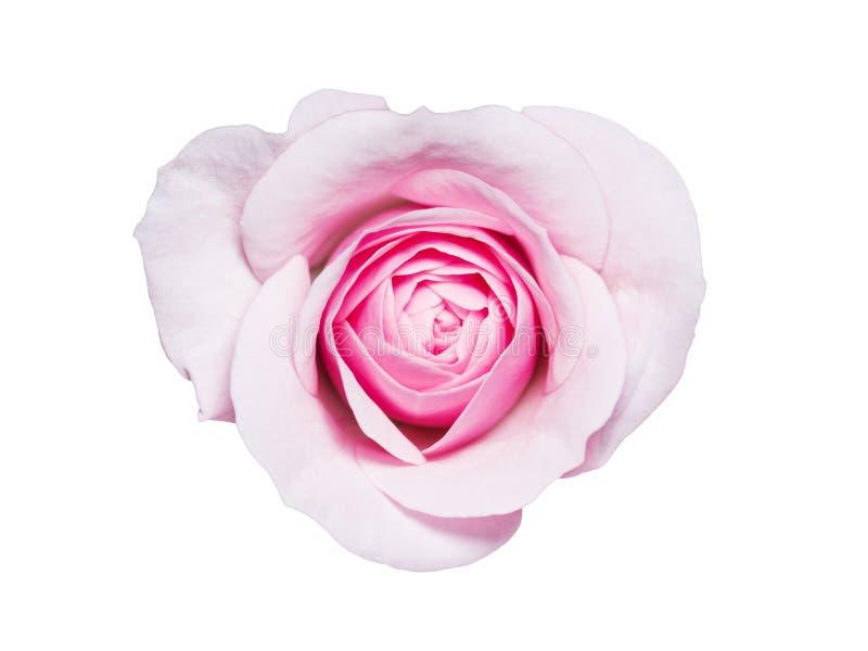 Rose Flower Bud Isolated hermosa en el fondo blanco imagenes de archivo