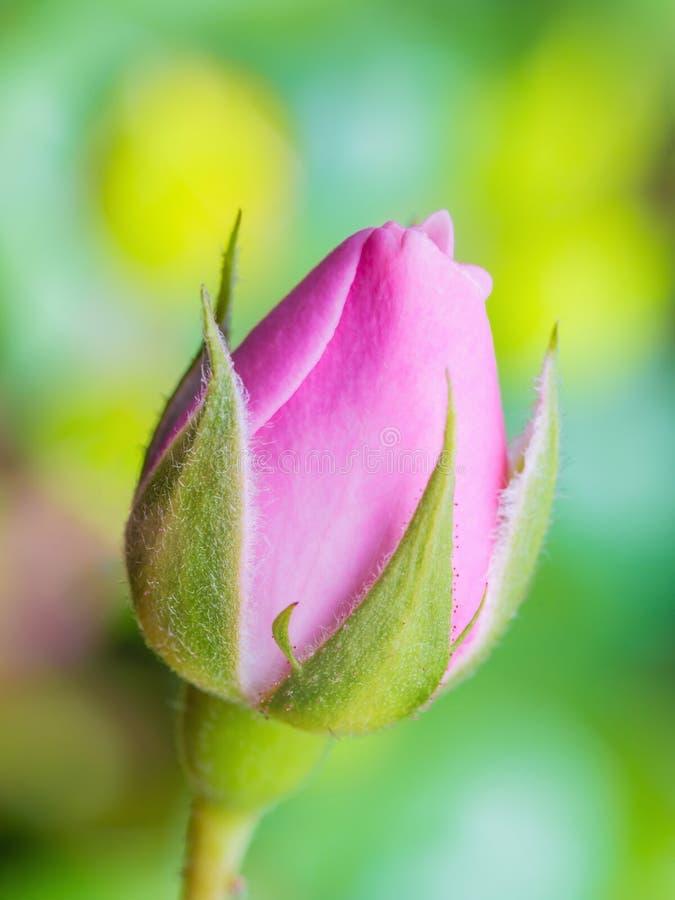 Rose Flower Bud rosa su sfondo naturale immagini stock libere da diritti