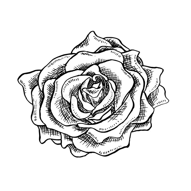 Rose Flower Bud in Sketch Style. Blossoming Single Rose Head flower Hand drawn Vector Isolated Rose Illustration stock illustration