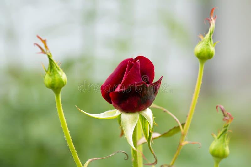 Rose flower with buds closeup. Summer garden stock images