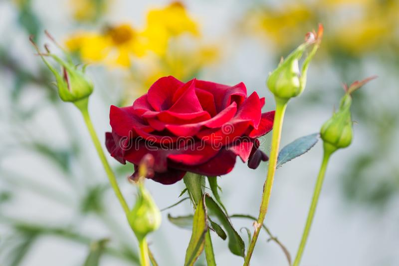 Rose flower with buds closeup summe garden. Rose flower with buds closeup summer garden royalty free stock image