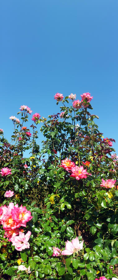 Download Rose flower bush stock image. Image of petal, yard, flower - 25824399