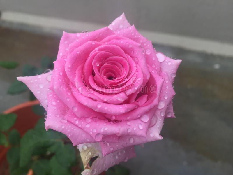 ROSE FLOWER. Click on rainy day royalty free stock photography