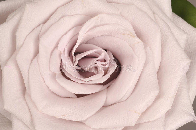 Rose flower close up royalty free stock image