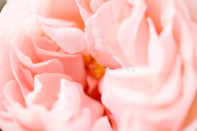 Rose flower close up. Macro, soft focus stock image