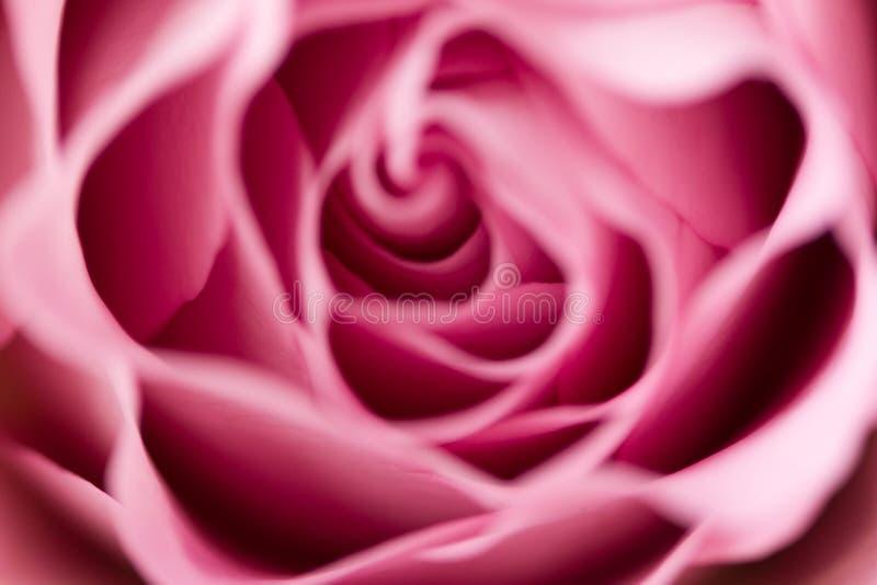 Rose flower close up. Macro, soft focus royalty free stock photo