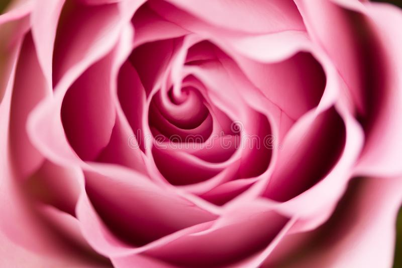 Rose flower close up. Macro, soft focus royalty free stock images