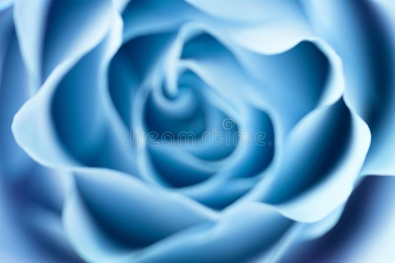 Rose flower close up. Macro, soft focus royalty free stock photography