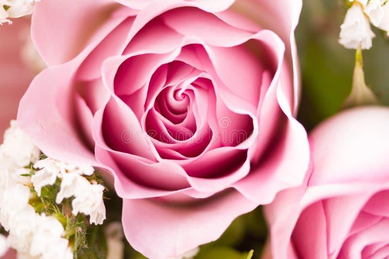 Rose flower close up. Macro, soft focus stock photos