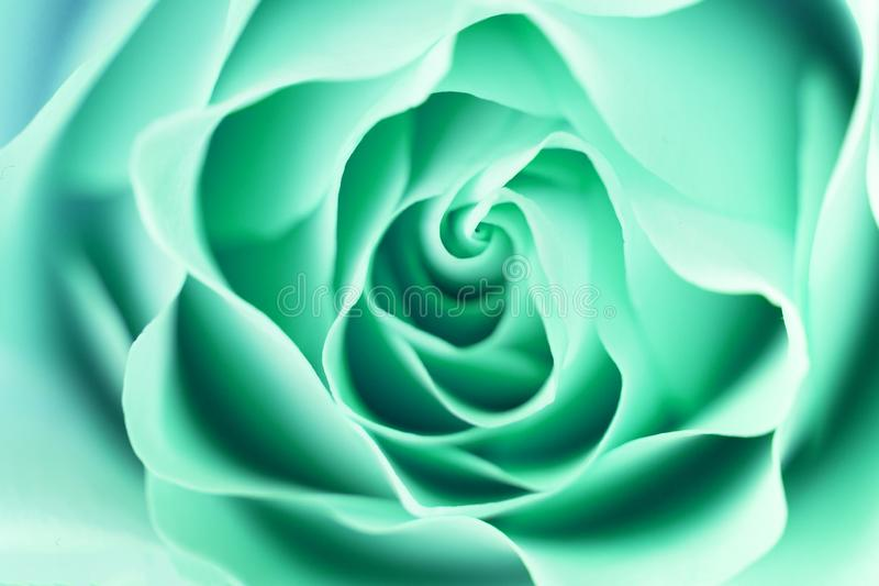 Rose flower close up. Macro, soft focus royalty free stock photos