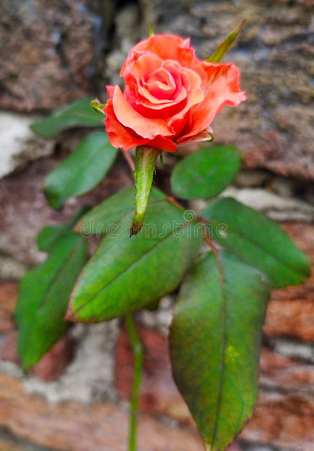 Rose flower colour red leaf plant nature beautiful stock photo