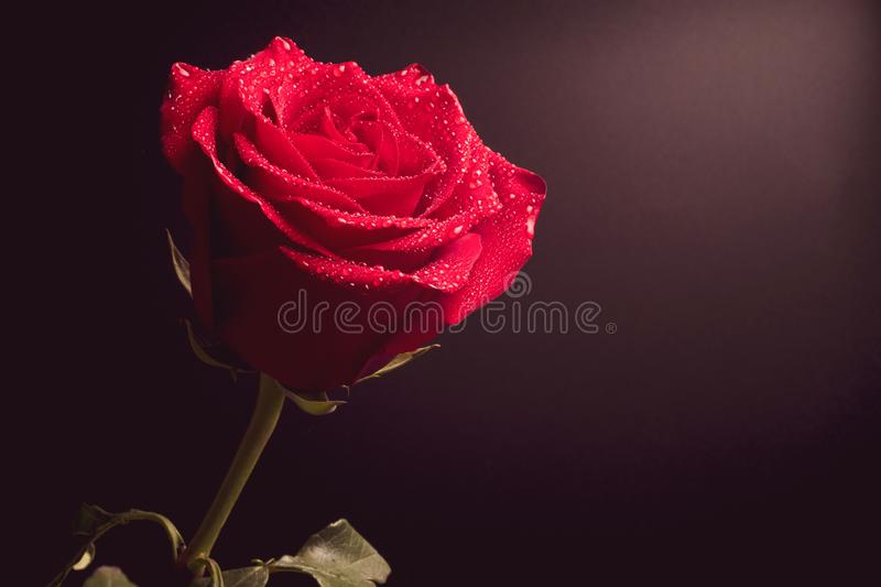 Rose flower on dark background, on rose water drop royalty free stock photography