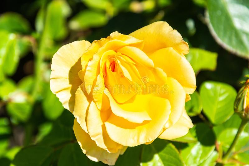 Rose flower di Glorious cultivar in Australia immagini stock libere da diritti