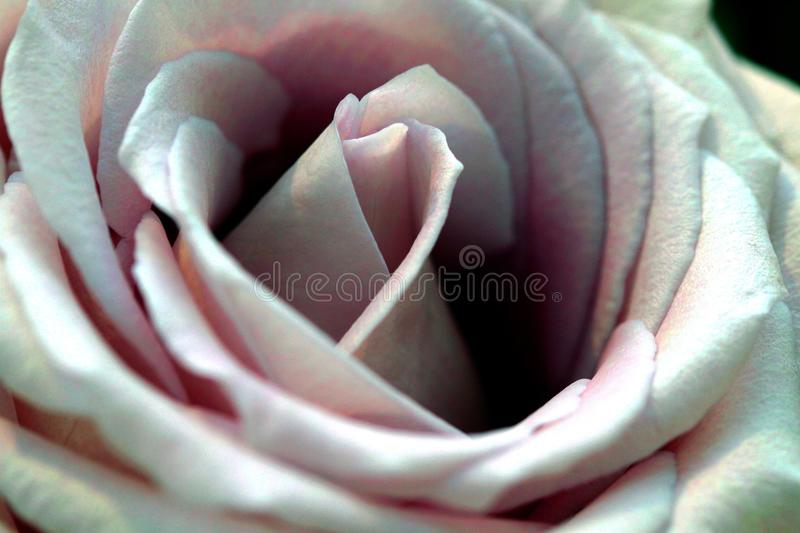 Rose, Flower, Rose Family, Pink Free Public Domain Cc0 Image