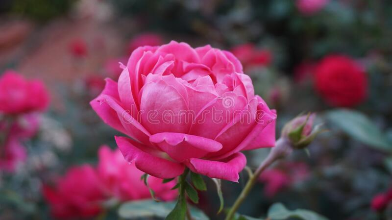 Rose, Flower, Rose Family, Pink stock photo