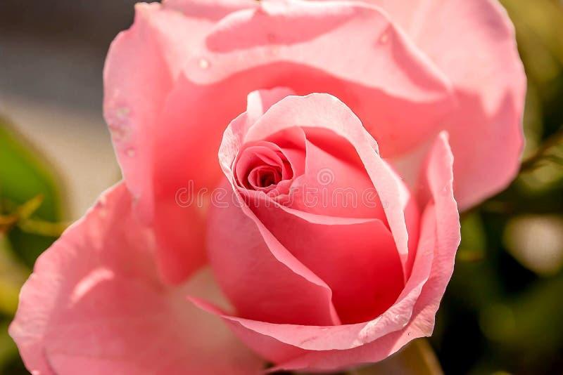 Rose, Flower, Rose Family, Pink stock photos