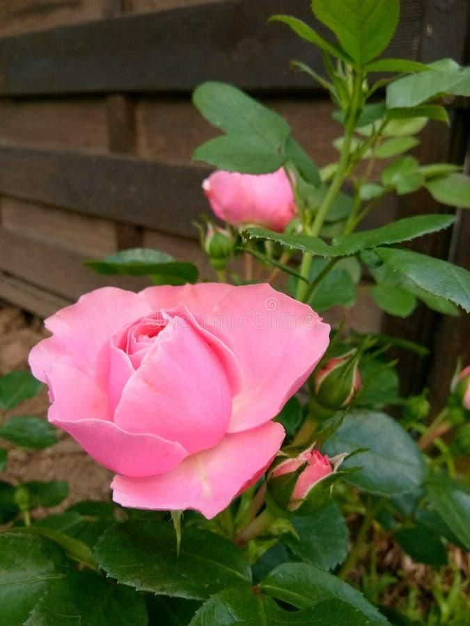 Rose flower fragility petal stock images